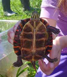 Photo of colourful Painted Turtle in hand