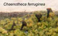 Photo of Chaenotheca ferruginea