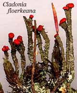 Photo of Cladonia floerkeana