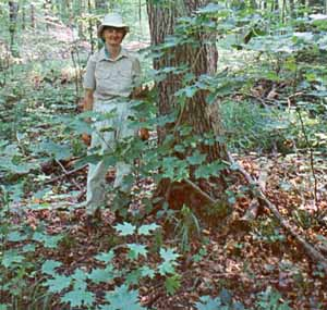 Hardwood forest before deer overpopulation and earthworm invasion