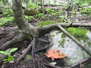 Photo of Sugar Maple sapling with roots exposed by loss of 10 cm of soil to earthworms