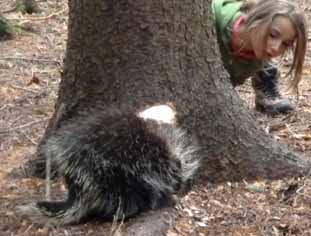 Photo of girl peering around tree at Porcupine