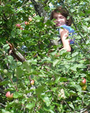 Photo of Macoun member up in wild apple tree