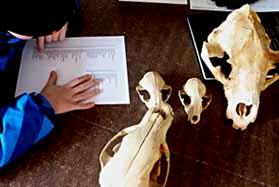Photo of boy checking the catalogue against bear skulls