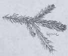Morgan's sketch of a spruce branch