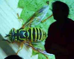 Photo of fly mimicking wasp