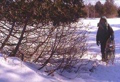 Photo of deer-browsed cedar