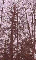 Photo of Porcupine-grazed Eastern Hemlock
