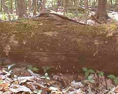 Photo of stunted trilliums in 2002