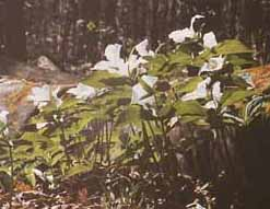 Photo of healthy trilliums in 1993