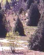 Photo of unbrowsed cedars