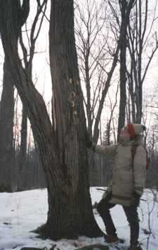 Photo of Pileated woodpecker holes at Christmas