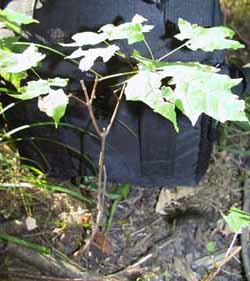 Photo of Maple seedling
