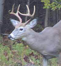 Photo of White-tailed Deer buck with antlers