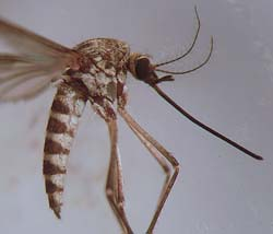 Photo of Aedes communis mosquito