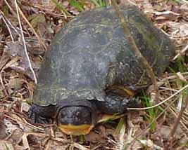 Photo of Blanding's Turtle