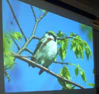 Photo of projected image of Chestnut-sided Warbler
