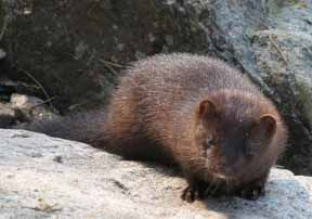 Photo of Mink among seaside rocks