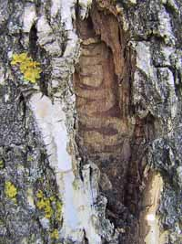 Photo of tunnels made by Emerald Ash Borer