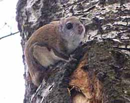 photo of Flying Squirrel just out of its den