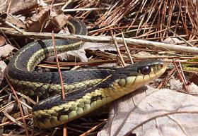 Photo of Garter Snake