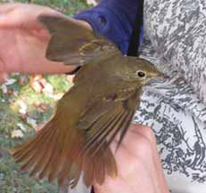 Photo of Hermit Thrush in hand