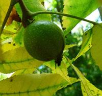 Photo of ripening Hickory nut