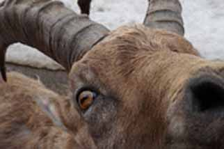 Close-up photo of Ibex