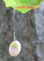 Photo of insect egg dangling on a silk thread