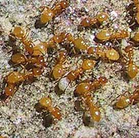 Photo of Lasisu flavus ants