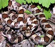 Photo of Milk Snake coiled