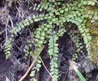 Photo of Maidenhair Spleenwort