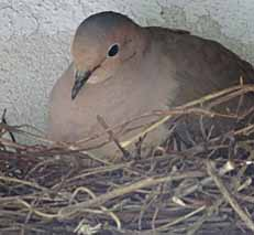 Photo of Mourning Dove on nest