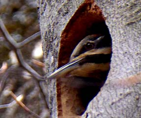 Photo of Pileated Woodpecker peering out of nest hole