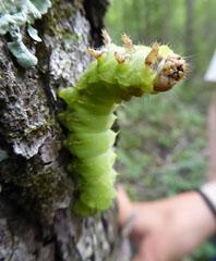 Photo of Polyphemus Moth caterpillar in defensive posture