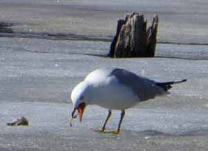 Photo of Ring-billed Gull feeding