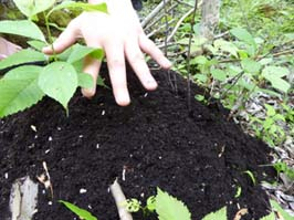 Photo of hand hovering over ant mound