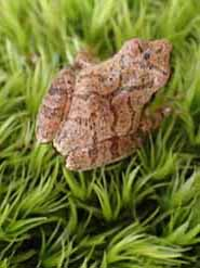 Photo of Spring Peeper on Broom Moss