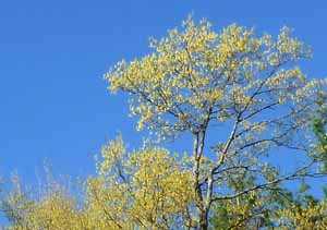 Photo of yellow crown of flowering Sugar Maple