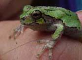 Photo of Tree frog in han