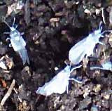 Photo of winged form of Prociplid root aphid