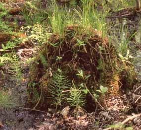Photo of an Lasius minutus ant mound