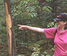 Photo of Macoun member Amber Stewart pointing to pine tree ripped open by Black Bear marking territory
