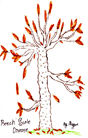 Drawing of diseased American Beech (Beech Bark Scale Disease)