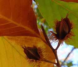 Photo of ripe American Beech nuts