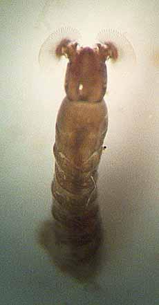 Photo of Black Fly larva feeding
