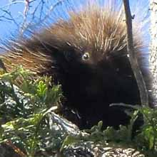 Photo of Porcupine in tree