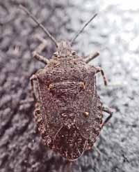 Photo of Rough Stink Bug