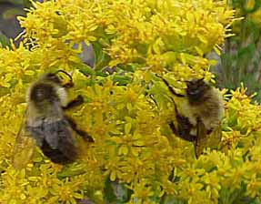 Photo of Bumblebees in Goldenrod flowers