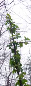 Photo of very late green leaves on Sugar Maple sapling